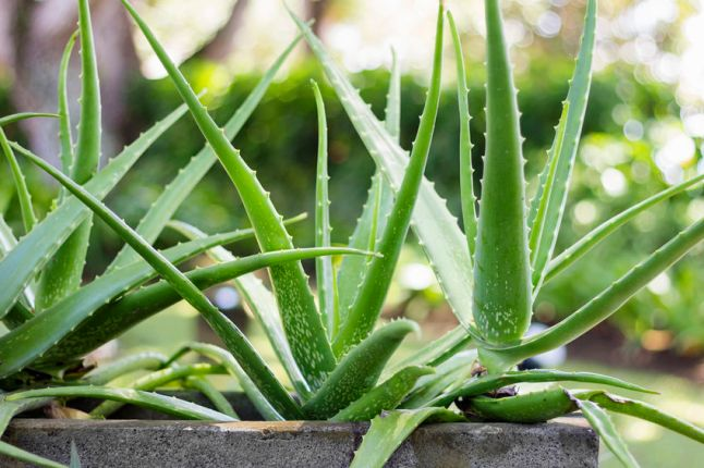 43592230 - close up aloe vera plant, outdoor pots