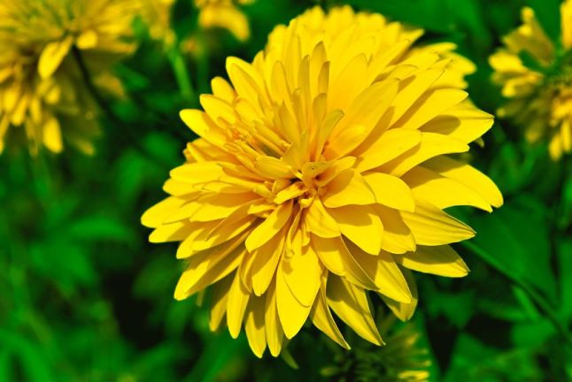 11004207 - yellow chrysanthemum.jpg